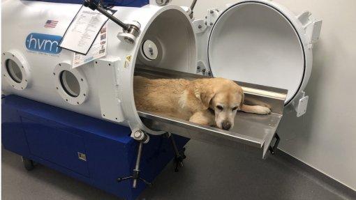 Tecnologia que prepara mergulhadores também ajuda cães e gatos a superar doenças