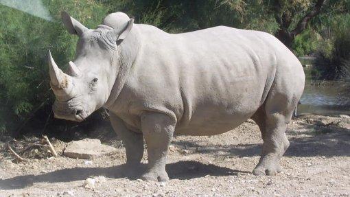 Países mantêm proibição do comércio de rinocerontes brancos e dos seus cornos