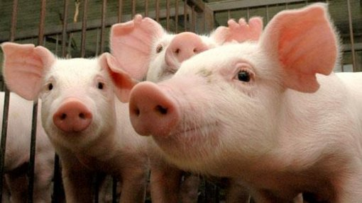 Timor-Leste anuncia morte de 400 porcos infetados com peste suína
