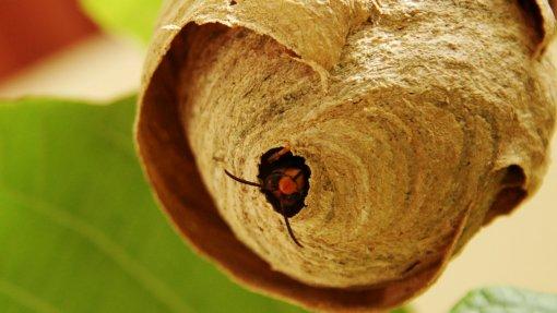 Proença-a-Nova já eliminou 30 ninhos de vespa asiática