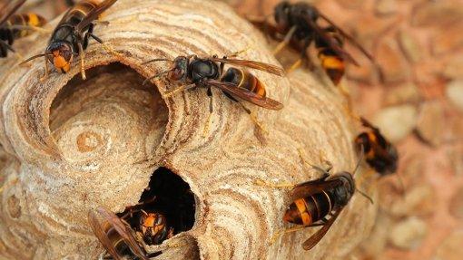 Figueira da Foz destruiu 130 ninhos de vespa asiática desde o início do ano