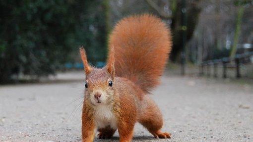 Investigadores identificam vírus que está a afetar mortalmente esquilos em Portugal